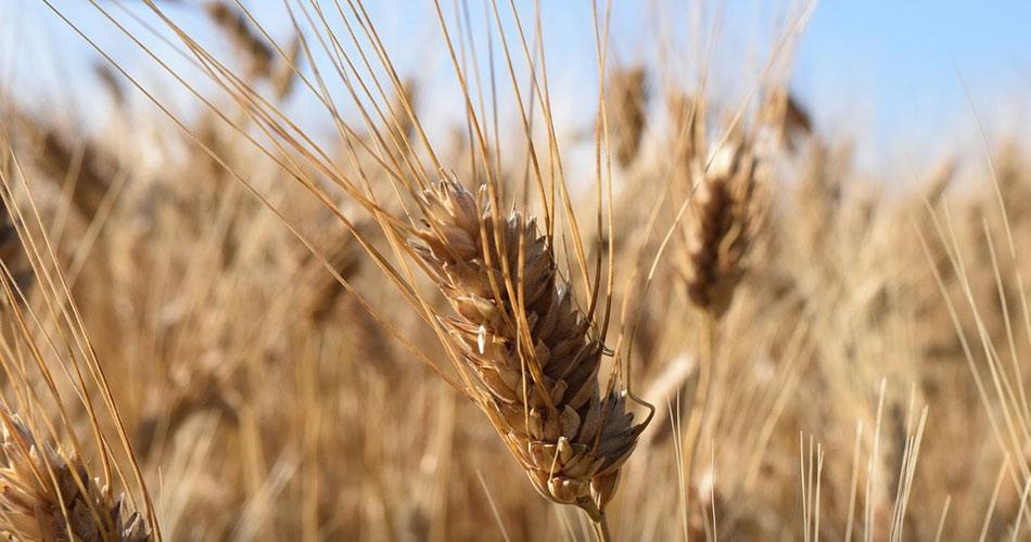 In Nord Africa usano il grano siciliano senza glifosato. E noi mangiamo quello che arriva con le navi!